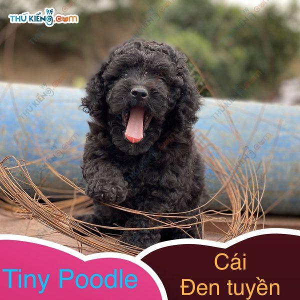 có bé tiny poodle xinh xinh, con độc đinh nên cũng dễ mến (3)