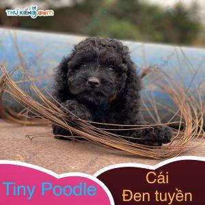 có bé tiny poodle xinh xinh, con độc đinh nên cũng dễ mến (2)