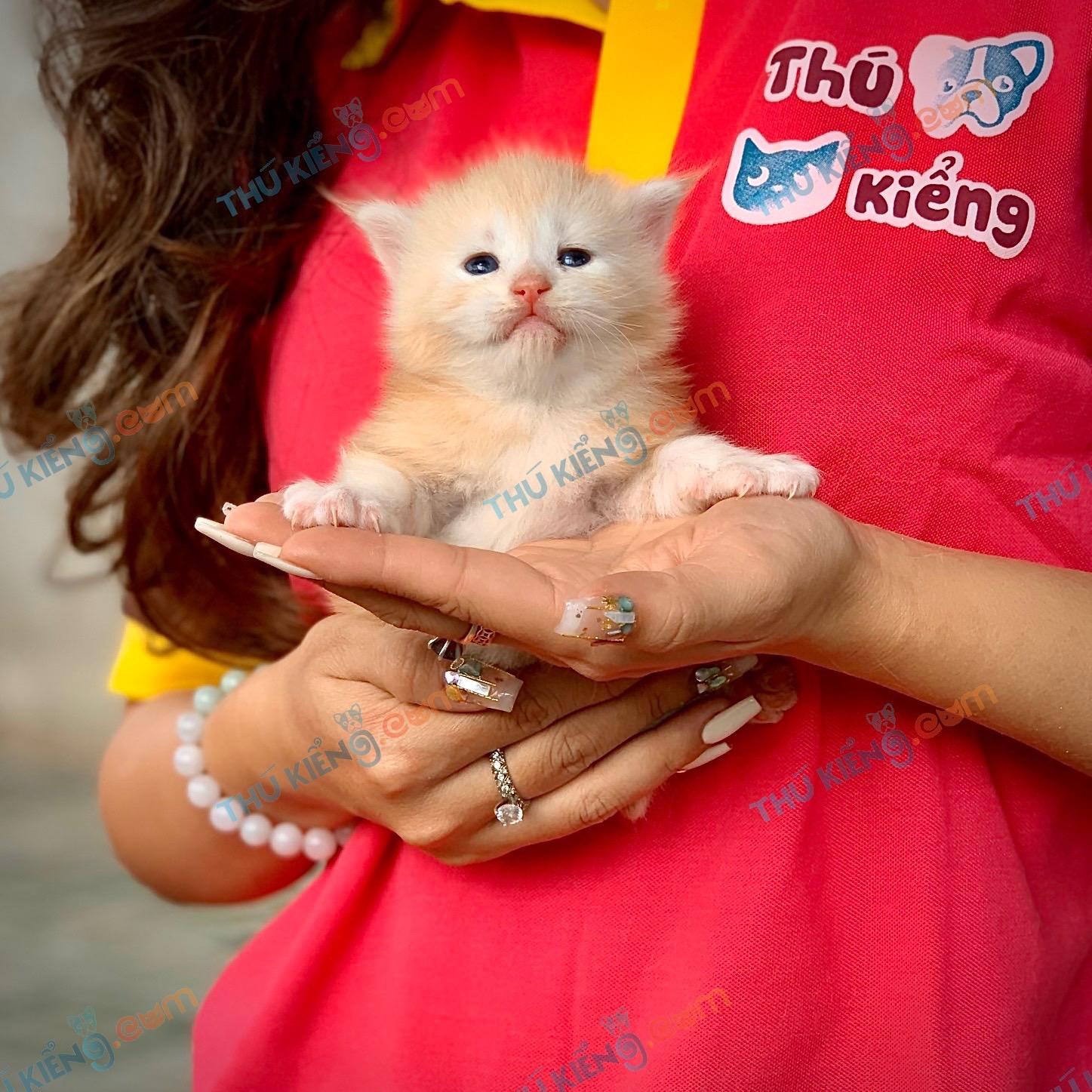 Mèo mainecoon