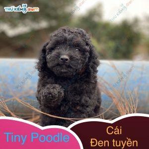có bé tiny poodle xinh xinh, con độc đinh nên cũng dễ mến (4)