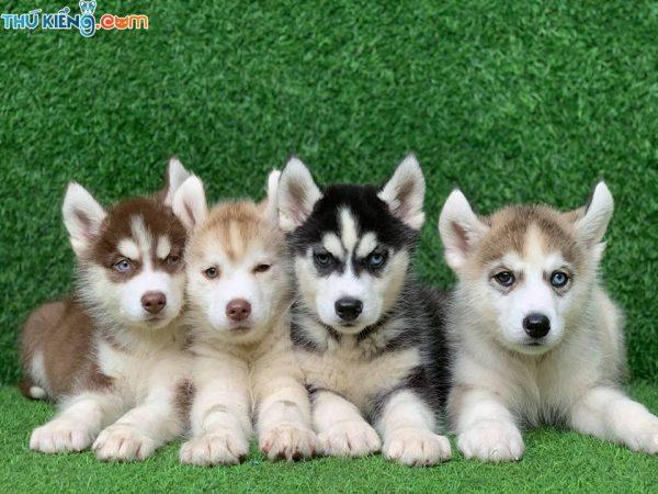 Giá chó Alaska mắt xanh và Alaska mắt hai màu