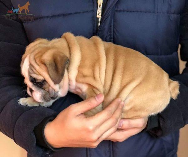 ban-cho-bulldog-2-2018-4