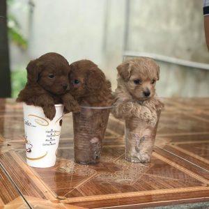 ban-cho-poodle-thang-3-2018