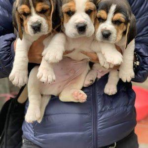 beagle-thang-4-1