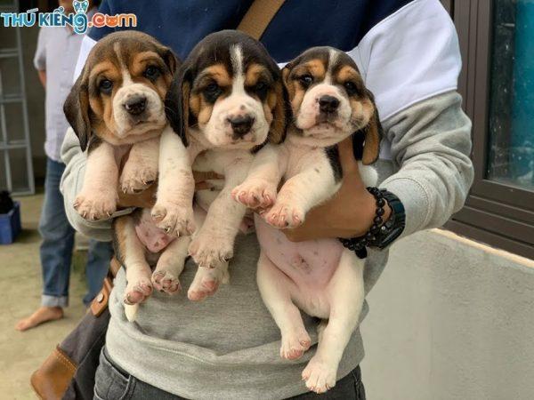beagle-thang-5-2