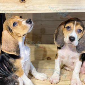 beagle-thang-7-2020-1