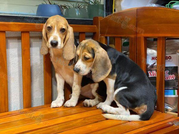 """Beagle """"ô mai cuối lọ"""" 3"""
