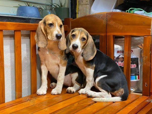 """Beagle """"ô mai cuối lọ"""" 4"""