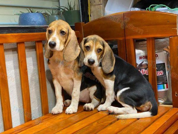 """Beagle """"ô mai cuối lọ"""" 5"""
