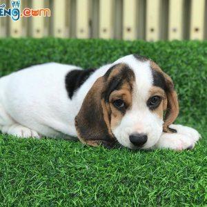 beaglet9-7