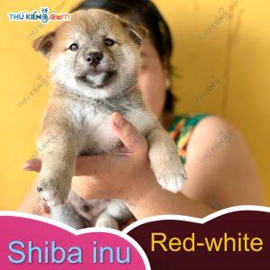các cháu shiba inu kén ba mẹ, các bé đầy đủ giấy tờ chứng nhận nguồn gốc 3