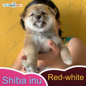 các cháu shiba inu kén ba mẹ, các bé đầy đủ giấy tờ chứng nhận nguồn gốc 4