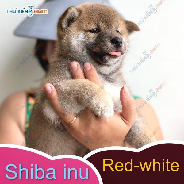 các cháu shiba inu kén ba mẹ, các bé đầy đủ giấy tờ chứng nhận nguồn gốc 5