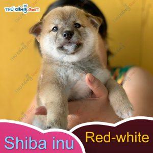 các cháu shiba inu kén ba mẹ, các bé đầy đủ giấy tờ chứng nhận nguồn gốc 7