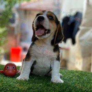 cho-beagle-6-2020-14
