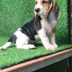 cho-beagle-thang-7-1
