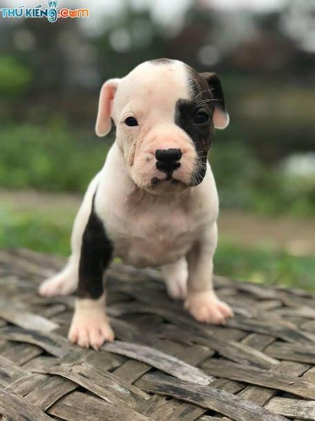 pitbull-thang-4-1