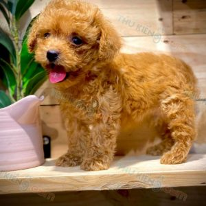 poodle-thang-9-2020-10