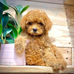 poodle-thang-9-2020-11