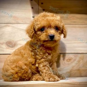 poodle-thang-9-2020-12