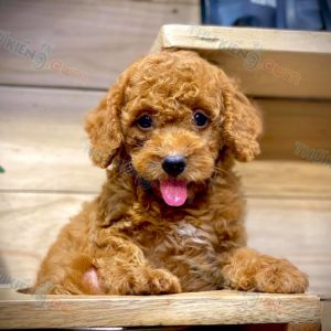 poodle-thang-9-2020-2