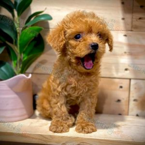 poodle-thang-9-2020-4