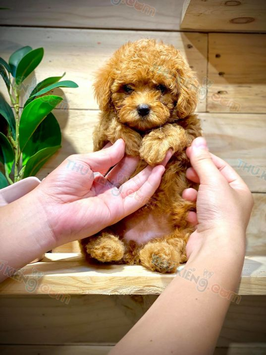 poodle-thang-9-2020-5