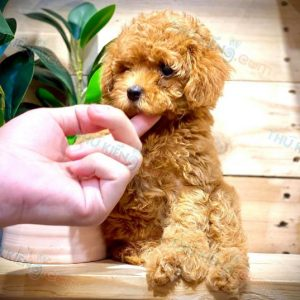poodle-thang-9-2020-8