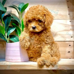 poodle-thang-9-2020-9