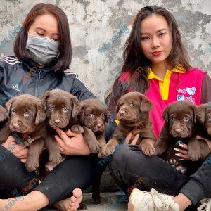 labrador-retriever-50-ngay-tuoi-xuat-chuong-thang-6-2021-1