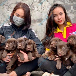 labrador-retriever-50-ngay-tuoi-xuat-chuong-thang-6-2021-13