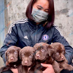 labrador-retriever-50-ngay-tuoi-xuat-chuong-thang-6-2021-12