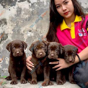 labrador-retriever-50-ngay-tuoi-xuat-chuong-thang-6-2021-10