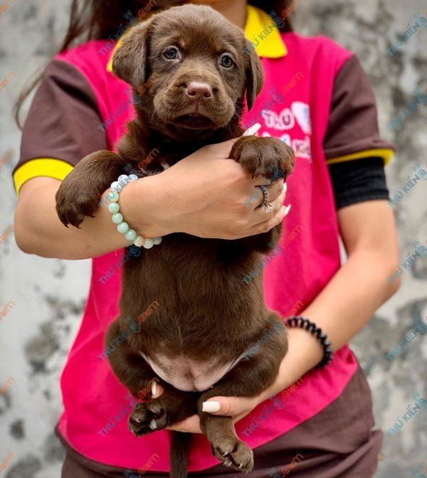labrador-retriever-50-ngay-tuoi-xuat-chuong-thang-6-2021-9