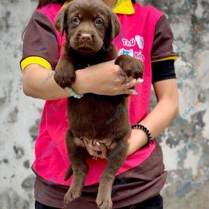 labrador-retriever-50-ngay-tuoi-xuat-chuong-thang-6-2021-8