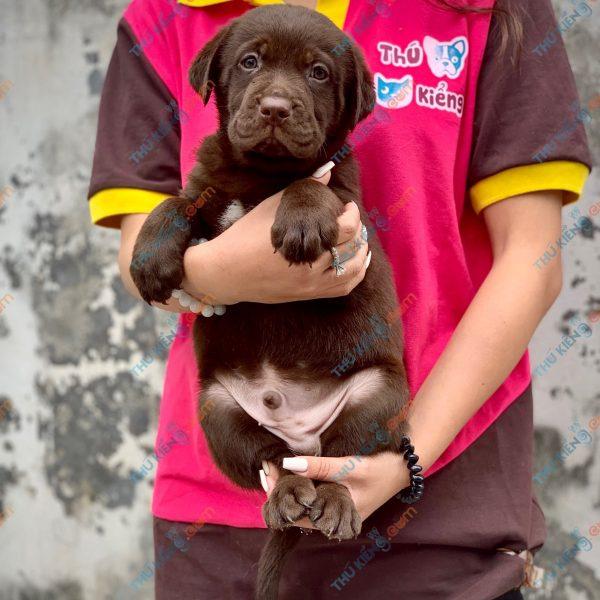 labrador-retriever-50-ngay-tuoi-xuat-chuong-thang-6-2021-6