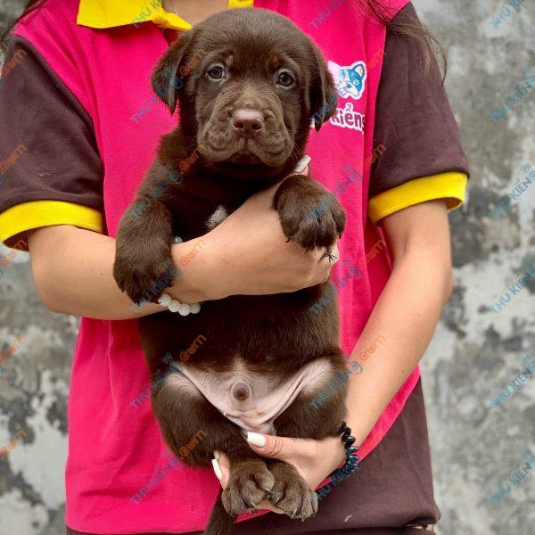 labrador-retriever-50-ngay-tuoi-xuat-chuong-thang-6-2021-5