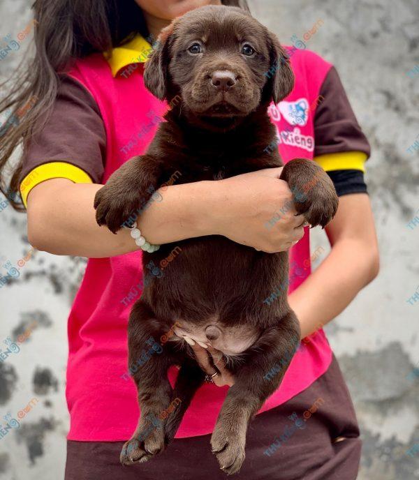labrador-retriever-50-ngay-tuoi-xuat-chuong-thang-6-2021-4