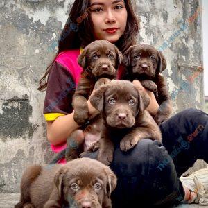 labrador-retriever-50-ngay-tuoi-xuat-chuong-thang-6-2021-3