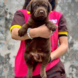 labrador-retriever-50-ngay-tuoi-xuat-chuong-thang-6-2021-2