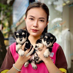 giong-cho-miniature-schnauzer-40-ngay-tuoi-xuat-chuong-thang-7-2021-4