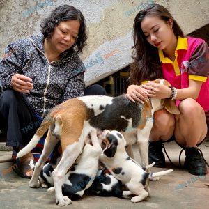 giong-cho-beagle-40-ngay-tuoi-xuat-chuong-thang-3-2021