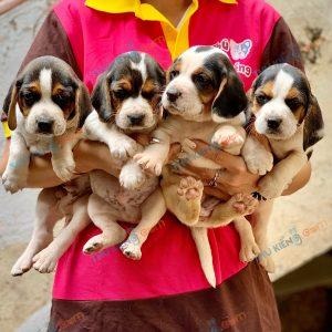 giong-cho-beagle-40-ngay-tuoi-xuat-chuong-thang-3-2021-12