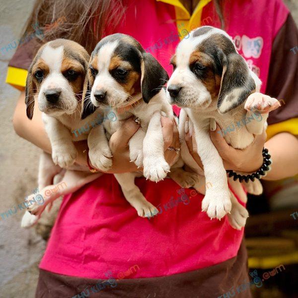 giong-cho-beagle-40-ngay-tuoi-xuat-chuong-thang-3-2021-10