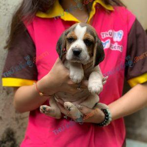 giong-cho-beagle-40-ngay-tuoi-xuat-chuong-thang-3-2021-7