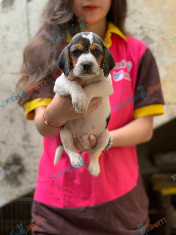 giong-cho-beagle-40-ngay-tuoi-xuat-chuong-thang-3-2021-6