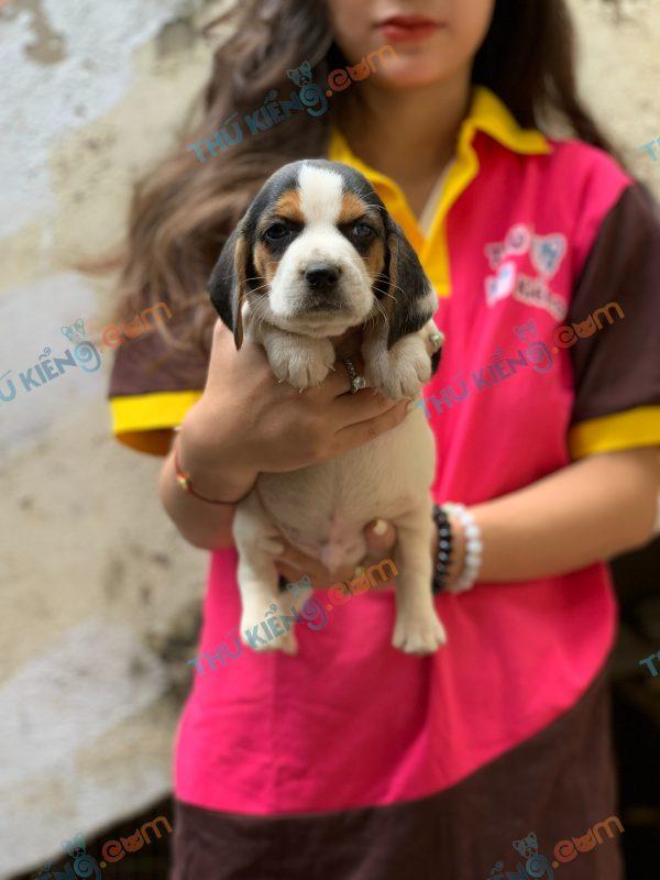 giong-cho-beagle-40-ngay-tuoi-xuat-chuong-thang-3-2021-4