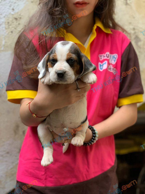 giong-cho-beagle-40-ngay-tuoi-xuat-chuong-thang-3-2021-2