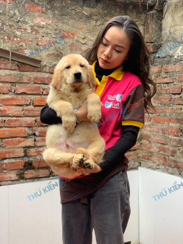 giong-cho-golden-retriever-50-ngay-tuoi-xuat-chuong-thang-1-2021-8