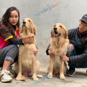 giong-cho-golden-retriever-50-ngay-tuoi-xuat-chuong-thang-1-2021-6